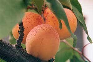 Aprikosen tun der Gesundheit gut