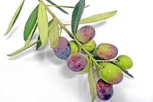 Grüne Oliven werden unreif geerntet