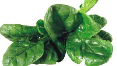 Man verwendet die Blätter und frischen Triebe wie normalen Spinat.
