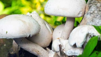 Champignons Kalorien und Nährwerte der beliebten Pilze