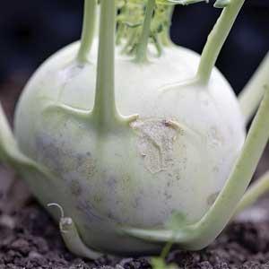 Oberrübe daher, da sie im Gegensatz zu anderen Rüben über der Erde wächst.