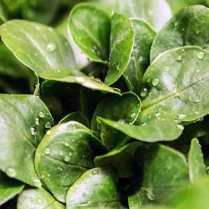 Weitere Bezeichnungen hierfür sind: Ackersalat (in Schwaben), Mäuseöhrchensalat oder Mausohrsalat.