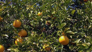 Photo of Pomelo, Kalorien und Nährwerte der Tropen Frucht