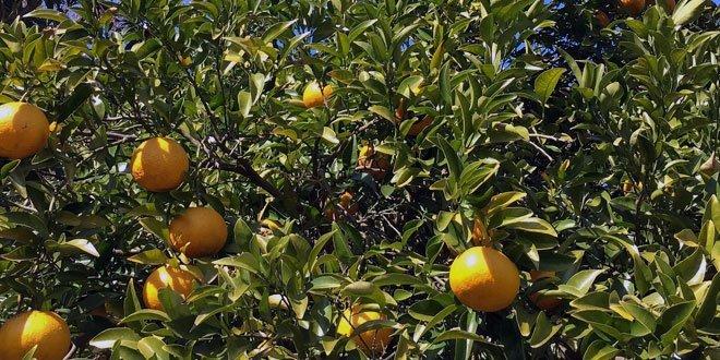 """Später kamen, hiervon unabhängig, auch Früchte aus Südostasien und China unter dem Namen """"Pomelo"""" oder """"Honey Pomelo"""" auf den deutschen Markt."""
