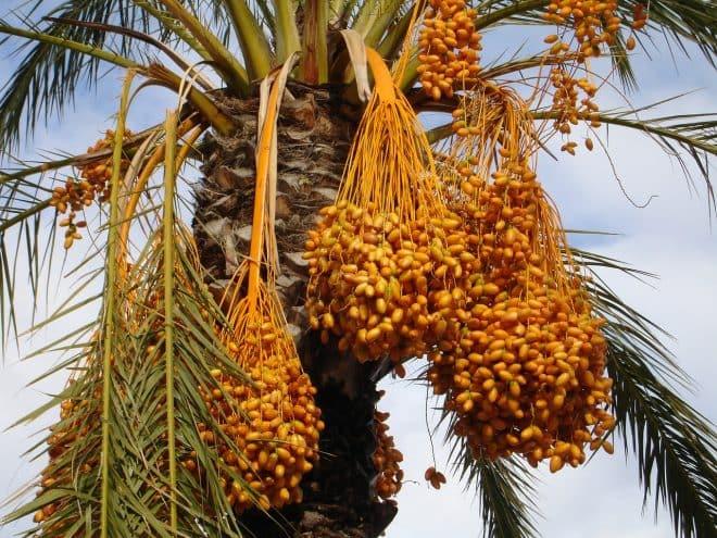 Datteln sind ein Allrounder unter den Früchten.