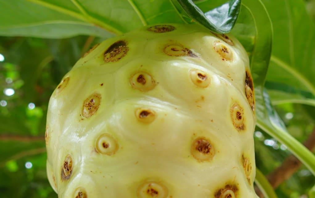 Die Noni Frucht oder Indische Maulbeere (lat.: Morinda citrifolia) stammt vermutlich aus Südostasien