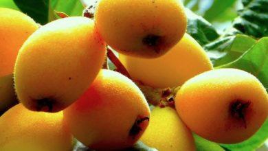 Photo of Mispel oder Mispeln als Powerfood – die vergessene gesunde Frucht
