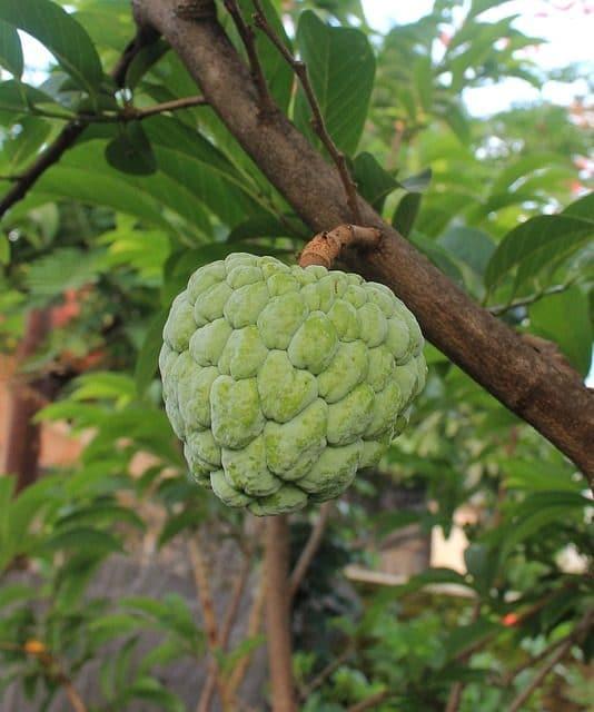 Die Cherimoya ist eine herzförmige, apfelgroße, mit einer ledrig weichen, dünnen und glatten Schale versehene Frucht.