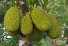 Photo of Jackfrucht – Kalorien und Nährwerte der chakra oder chakka