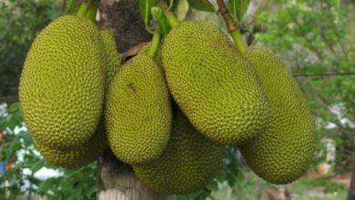 Die Jackfrucht ist eine große Frucht. Je reifer sie ist, desto weicher wird ihre Schale.