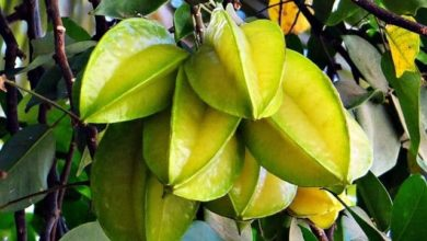 Photo of Karambole – Kalorien und Nährwerte der Averrhoa carambola