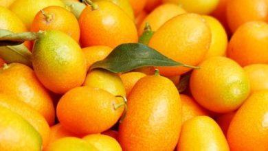 Die aus Asien stammende Kumquat wird oft als Dekoration für größere Gerichte verwendet.