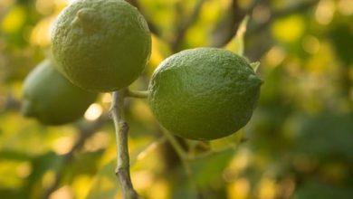 Photo of Limequat – Kalorien und Nährwerte