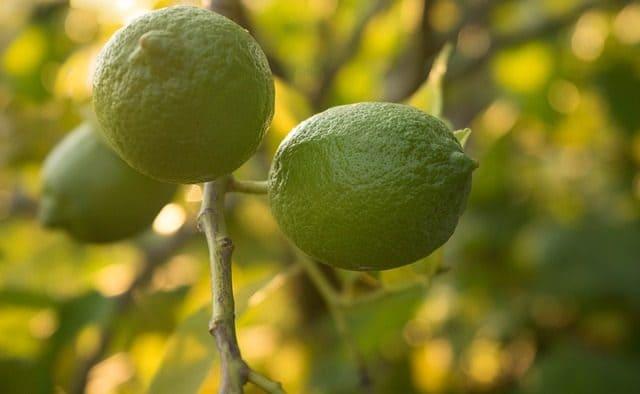 Die Limequat eignet sich zum Verfeinern von Gerichten und Cocktails.