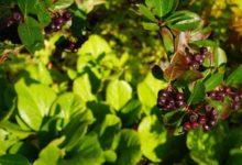 Photo of Aronia Beeren oder auch Apfelbeeren