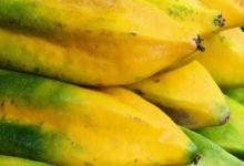 Babaco Kalorien, Babacos sind riesige Früchte die mit der Papaya verwandt sind.