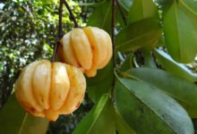 Photo of Garcinia Cambogia zum Abnehmen, Wunderfrucht oder Abnehmmythos