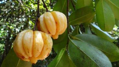 Garcinia Cambogia zum Abnehmen, Wunderfrucht oder Abnehmmythos